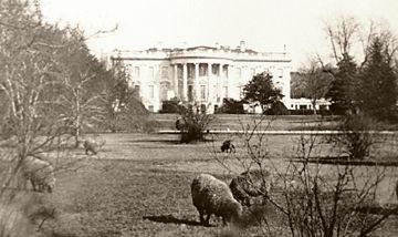 an analysis of the sheep on the white house lawn The sheep of the white house  the pennsylvania avenue-fronting north lawn that year 185 pounds of wool were sheered from the white house flock and donated to the .