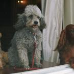 President Nixon's French Poodle, Vicky