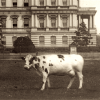 Pauline Wayne, President Taft's Famous Cow