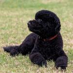 Obamas Get Another Dog: Meet Sunny