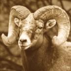 Woodrow Wilson's Pet Ram, Old Ike