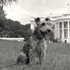 JFK's Welsh Terrier, Charlie
